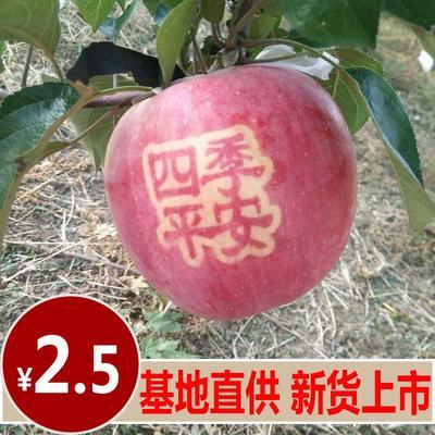 辽宁省铁岭市铁岭县寒富苹果 光果 全红 80mm以上