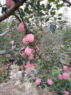 甘肃省平凉市静宁县红富士苹果 纸袋 条红 65mm以上