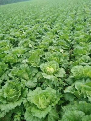 这是一张关于韩国黄心白菜 3~6斤 毛菜的产品图片
