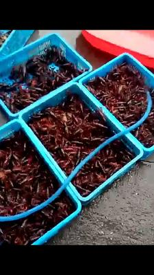 这是一张关于清水小龙虾 塘虾 3456789.0钱的产品图片