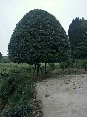 河南省许昌市鄢陵县桂花树