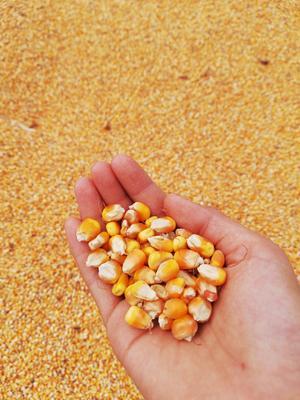 河南省平顶山市舞钢市玉米干粮 霉变≤1% 毛货