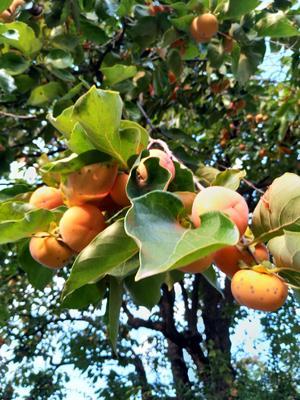 这是一张关于山柿子 1 - 2两以上的产品图片
