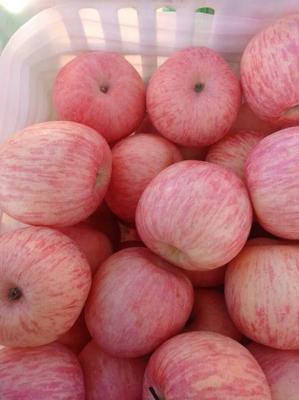 陕西省咸阳市三原县红富士苹果 纸袋 片红 75mm以上