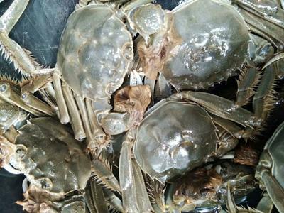 山东省潍坊市寿光市黄河口大闸蟹 2.0两以下 统货