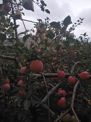 甘肃省天水市甘谷县红富士苹果 膜袋 片红 70mm以上