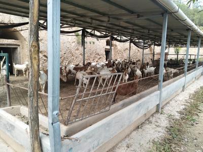 甘肃省平凉市泾川县白山羊 50-80斤