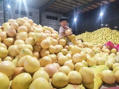 这是一张关于红心柚 1.5斤以上的产品图片