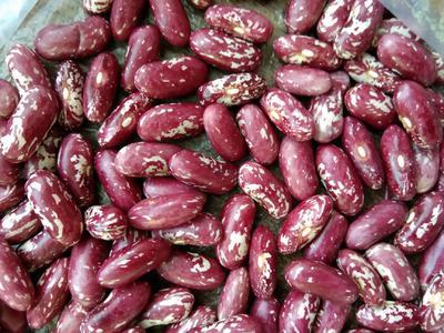 内蒙古自治区呼伦贝尔市鄂伦春自治旗紫花芸豆