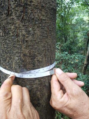 这是一张关于黄连木的产品图片