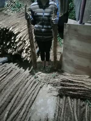 山西省运城市新绛县麻山药 50~70cm