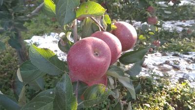四川省凉山彝族自治州西昌市盐源苹果 光果 片红 60mm以上