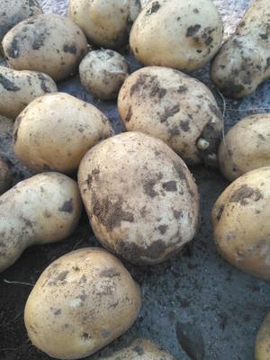吉林省松原市长岭县荷兰806马铃薯 2两以上