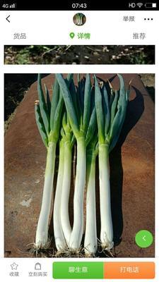这是一张关于旱地大葱 2cm左右 25~30cm 毛葱的产品图片