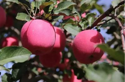 甘肃省平凉市庄浪县红富士苹果 纸+膜袋 片红 75mm以上