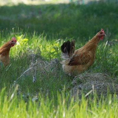 这是一张关于土鸡 母 3-4斤 的产品图片