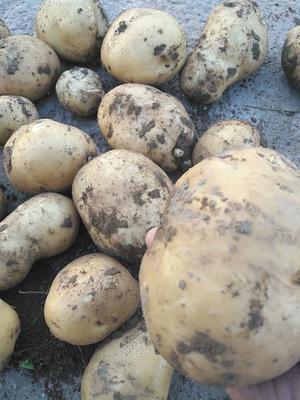 这是一张关于兴佳土豆 3两以上的产品图片