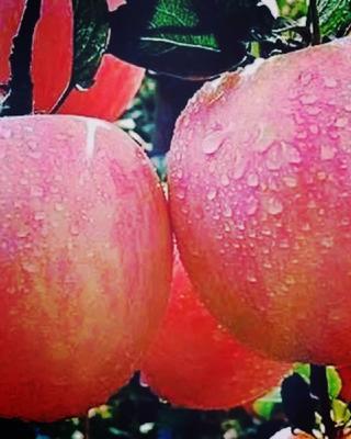 甘肃省天水市秦安县红富士苹果 纸袋 条红 70mm以上