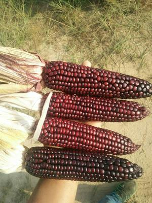 陕西省榆林市定边县玉米干粮 霉变≤1% 净货