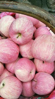 甘肃省平凉市庄浪县红富士苹果 纸+膜袋 条红 75mm以上