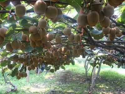 这是一张关于秦美猕猴桃 100~120克的产品图片