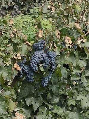 这是一张关于酿酒葡萄 5%以下 1次果 0.4-0.6斤的产品图片