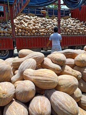贵州省毕节市黔西县特优密本南瓜 6~10斤 其他