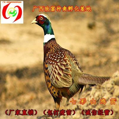 广西壮族自治区南宁市兴宁区七彩山鸡 1斤以下