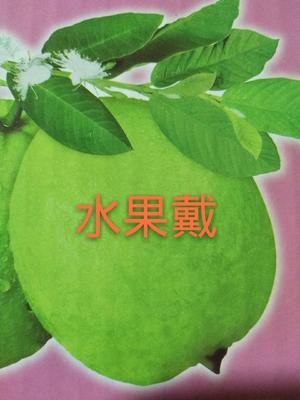 福建省漳州市南靖县西瓜芭乐 200-250克