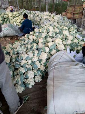 山东省聊城市东昌府区闵都65散花椰菜 松散 1~2斤 乳白色