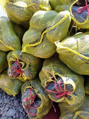 广西壮族自治区桂林市全州县香芋南瓜 2~4斤 长条形