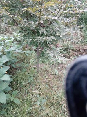 湖南省怀化市靖州苗族侗族自治县美国红枫