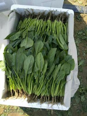 山东省潍坊市寿光市大叶菠菜 20~25cm