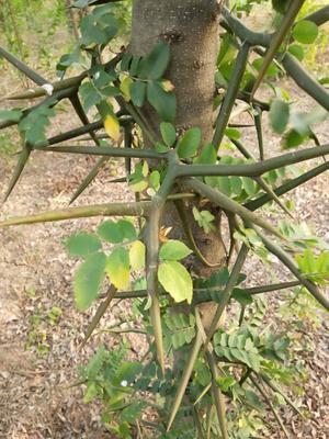 安徽省亳州市谯城区皂角树
