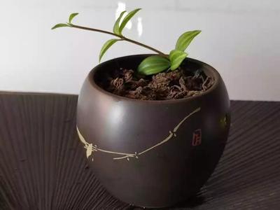 云南省西双版纳傣族自治州景洪市普洱饼茶 散装 特级
