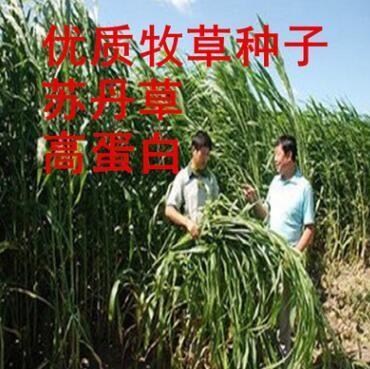 这是一张关于苏丹草种子的产品图片