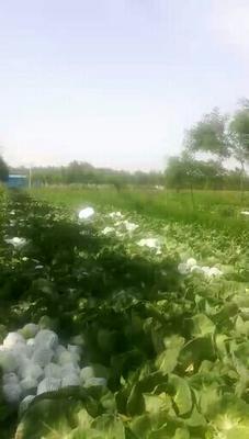 河北省邯郸市永年县中甘15号甘蓝 1.0~1.5斤