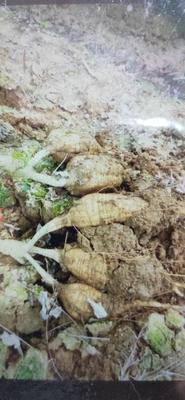 广西壮族自治区梧州市藤县粉葛 3.0-3.5斤
