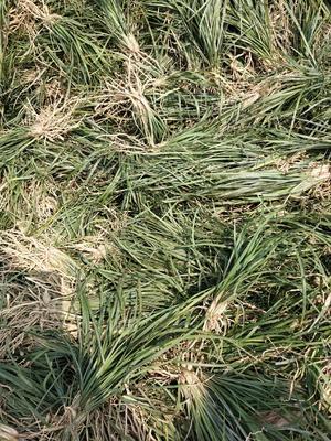 这是一张关于麦冬草的产品图片