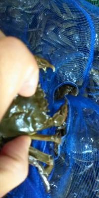 这是一张关于固城湖河蟹 2.0-2.5两 母蟹的产品图片