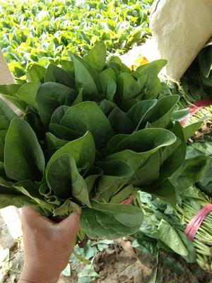 山东省德州市禹城市大叶菠菜 25~30cm