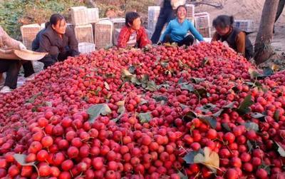 四川省阿坝藏族羌族自治州茂县大红星山楂 15 - 20克