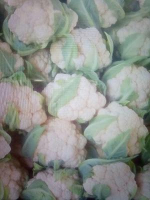 山东省聊城市东昌府区白花菜花 紧密 1~2斤 乳白色