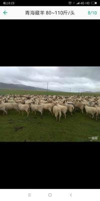 这是一张关于藏羊 80-110斤的产品图片