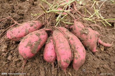 这是一张关于黄心红薯 红皮 混装通货的产品图片