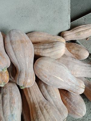 河南省南阳市邓州市蜜本南瓜 6~10斤 长条形