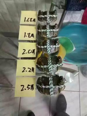 这是一张关于固城湖大闸蟹 2.0-2.5两 统货的产品图片