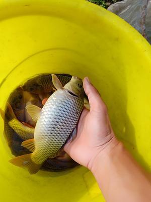 广西壮族自治区河池市南丹县池塘鲤鱼 野生 0.25-1公斤