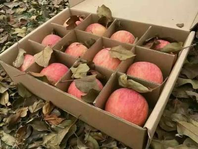 这是一张关于红富士苹果 膜袋 条红 70mm以上的产品图片