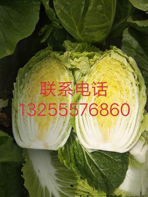 山东省青岛市平度市黄心大白菜 3~6斤 二毛菜